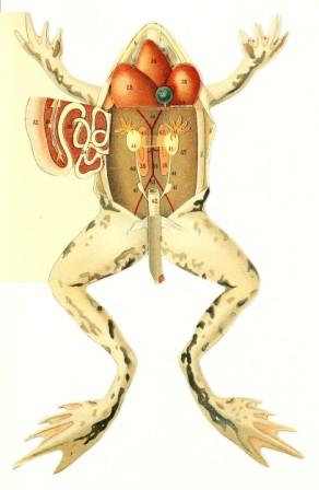 Anatomía de las ranas » RANAPEDIA
