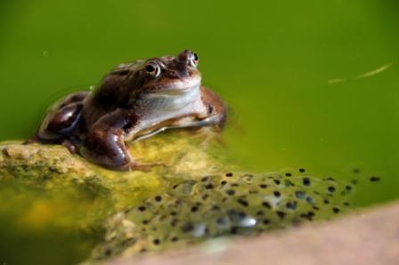 Cuidado parental en las ranas » RANAPEDIA