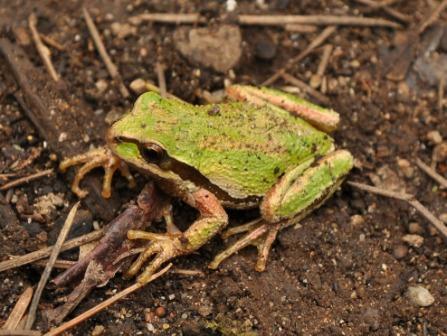 Digestión y excreción en las ranas » RANAPEDIA