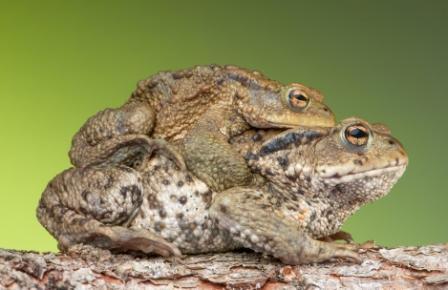 Ciclo de vida de las ranas » RANAPEDIA