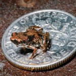tinest-frog-new-species-paedophryne-amauensis_46802_600x450